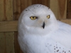 Diamon the Snowy Owl